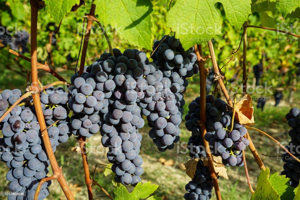 Vineyards waiting for harvest - foto stock