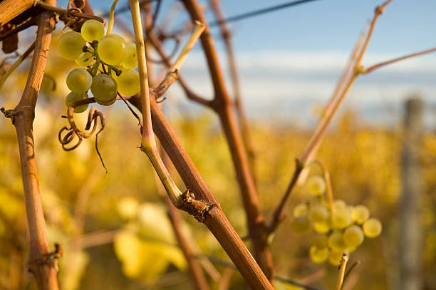 Vineyards with grapes stock photo
