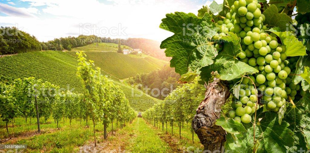 Weinberge mit Weinreben und Weingut entlang der Weinstraße in der Abendsonne, Österreich Europa – Foto
