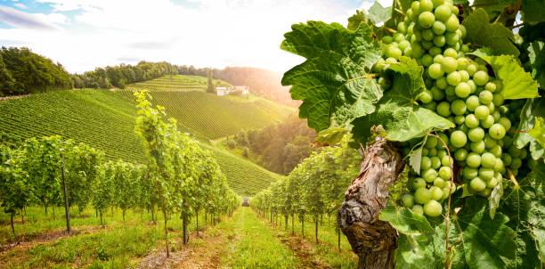 Vinhas com vinha e adega vinho estrada no sol de noite, Áustria Europa - foto de acervo