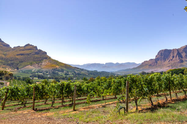 Vineyards with mountains in Stellenbosch, Cape Town, South Africa This pic shows the famous vineyards and wine farms in south africa. The image shows Vineyards with mountains on background on a sunny day in Stellenbosch. The grape farm can be seen in the pic. The pic is taken in march 2019. western cape province stock pictures, royalty-free photos & images