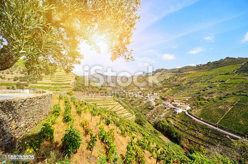 Vineyards with red wine grapes for Port wine production in winery near Douro valley and Duero river, Peso da Regua, Porto Portugal