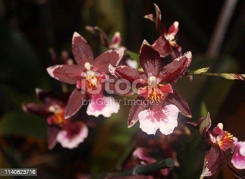 Vinous, red, burgundy, maroon, claret, flowers, bloom, blooming, tropical, exotic, botanical, botany, colorful, color, macro, rare, bud