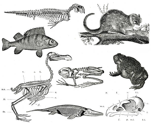 vintage tiere collection - dinosaurier illustration stock-fotos und bilder
