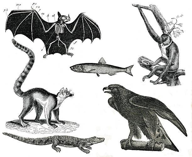 vintage animaux collection vol v - gravure à photos et images de collection