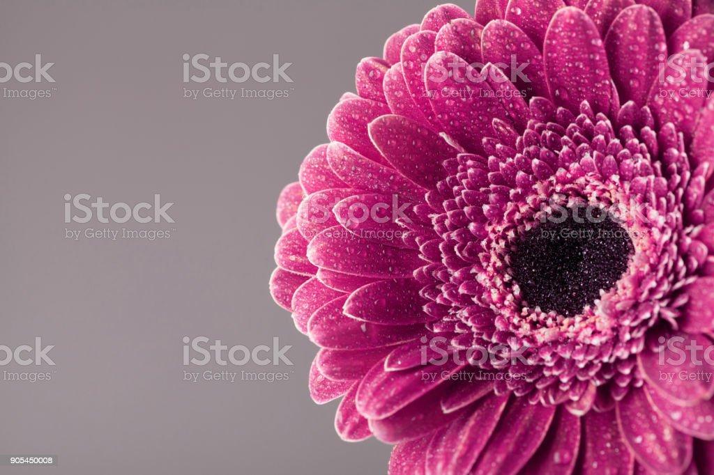 Vintage Beautiful Single Gerbera Daisy Flower Head In Water