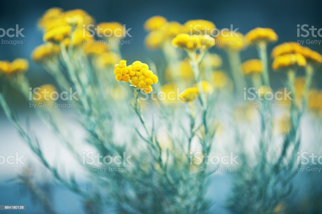 vintage big yellow soft meadow wild plants on bright colorful background in spring field. Sunny outdoor macro photo of beautiful flowers royalty-free stock photo