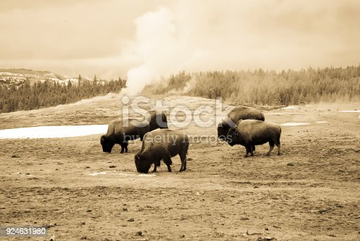 Vintage sepia bison or American buffalo grazing next to steaming Old Faithful  Geyser in Yellowstone National Park, Wyoming in winter.