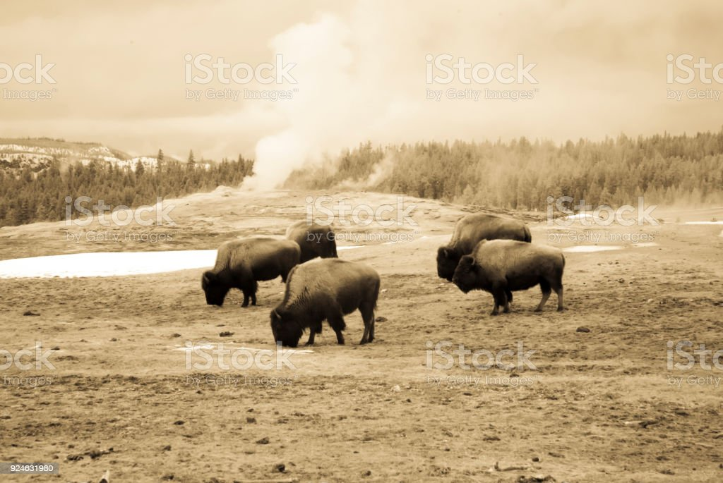 Vintage bison grazing next to Old Faithful, Yellowstone National Park stock photo