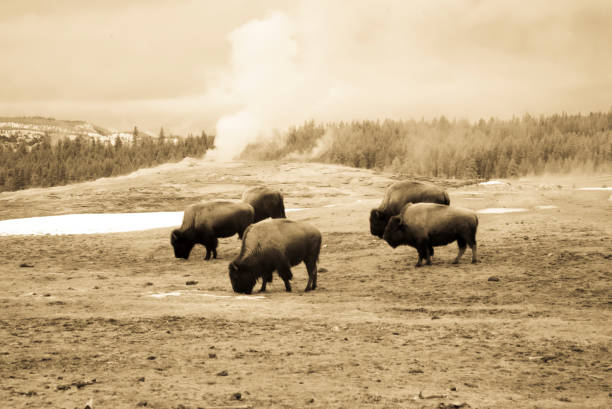 vintage bison grazing next to old faithful, yellowstone national park - sepia stock photos and pictures