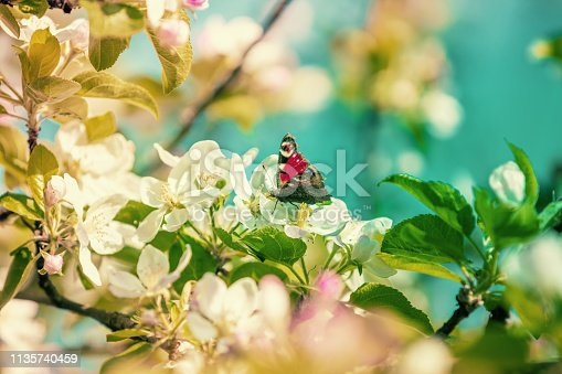Vintage blooming apple tree branches. A butterfly sits on an apple tree flower. Spring natural background