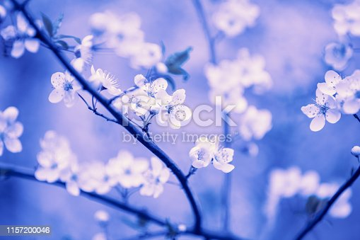 Vintage blossom plum trees in an orchard. Spring natural background. Violet toned