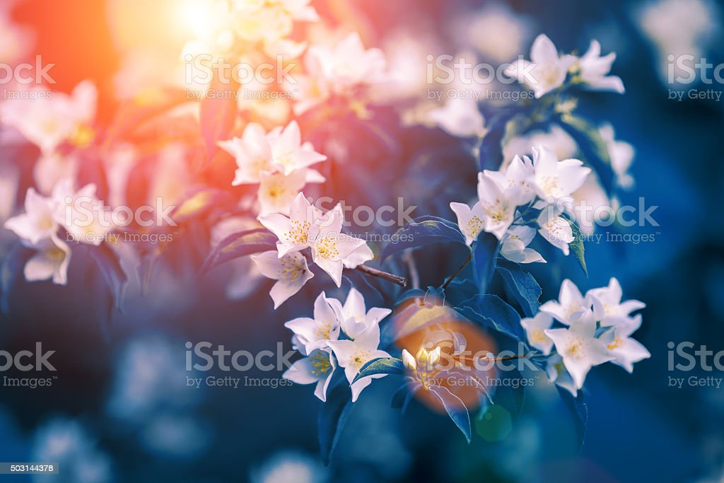 Vintage blossoming jasmine flowers stock photo