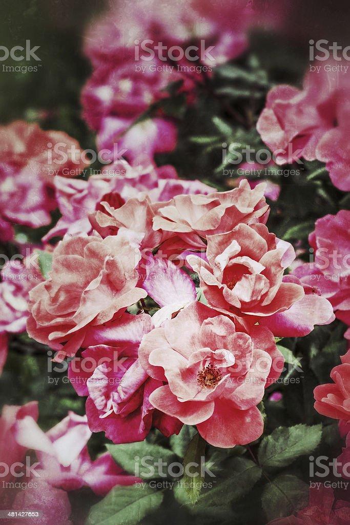 Vintage Bush of Rose Plants royalty-free stock photo