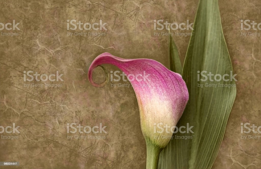 Vintage Calla Lily on Textured Background royalty-free stock photo