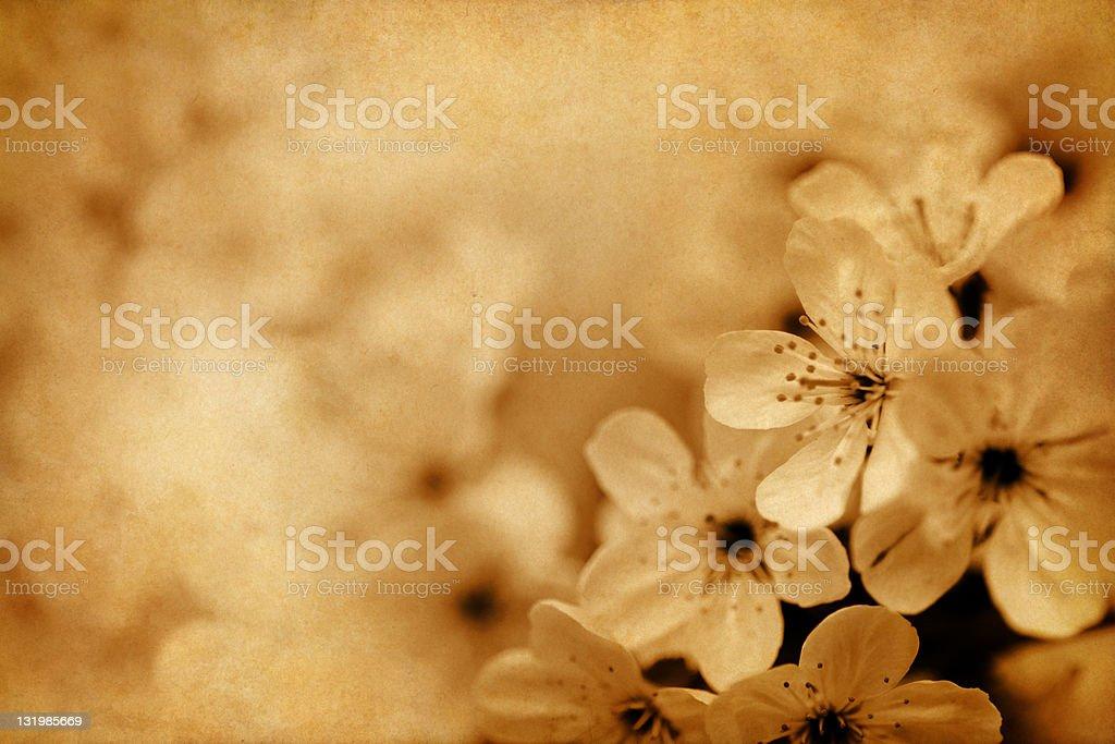 vintage cherry blossom royalty-free stock photo