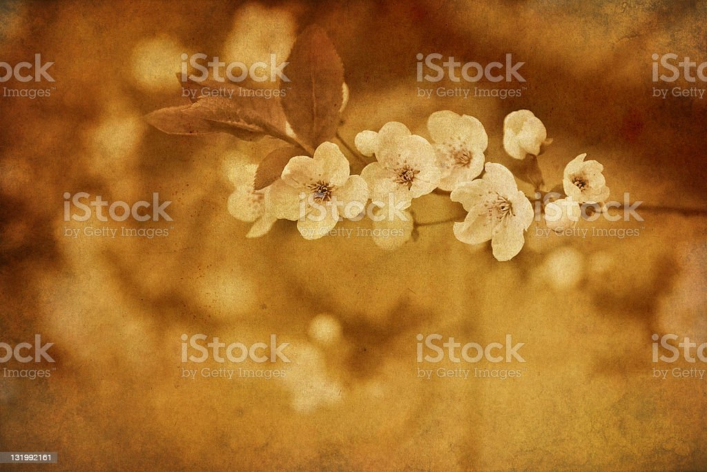 vintage cherry blossom royalty-free stock photo