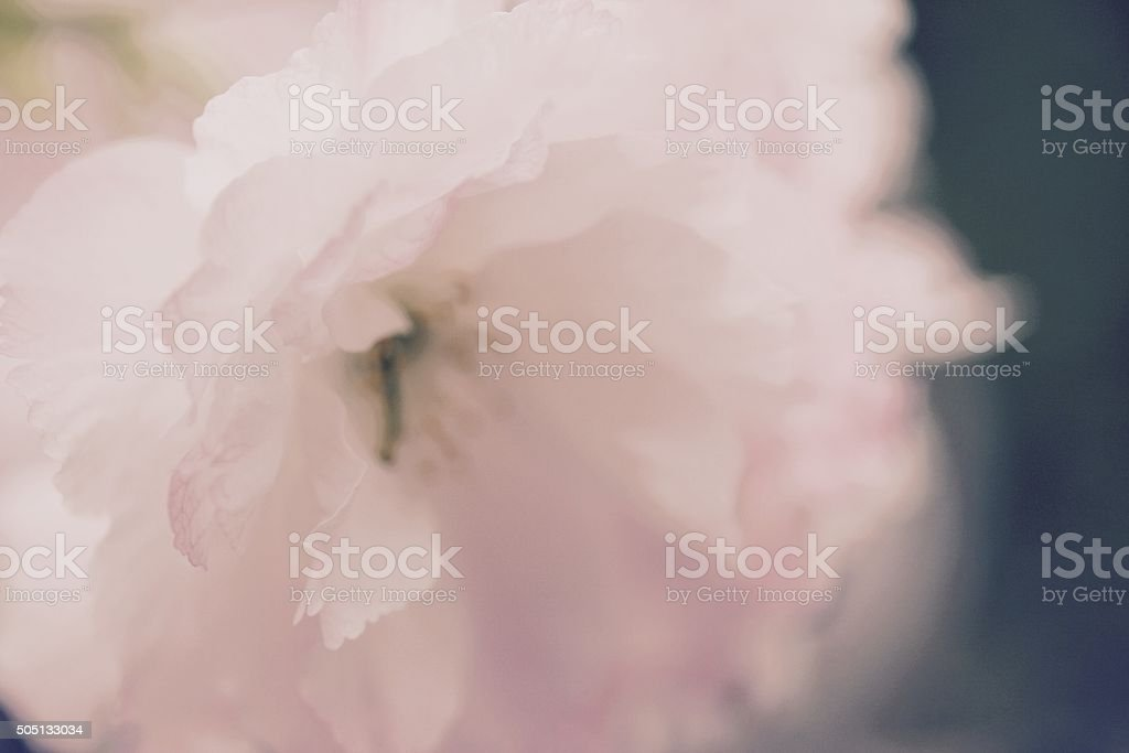Vintage Cherry Blossom Up Close stock photo