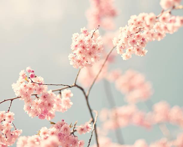 Vintage cherry blossoms stock photo
