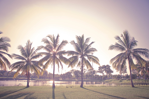 istock vintage coconut palm in the park 692166726