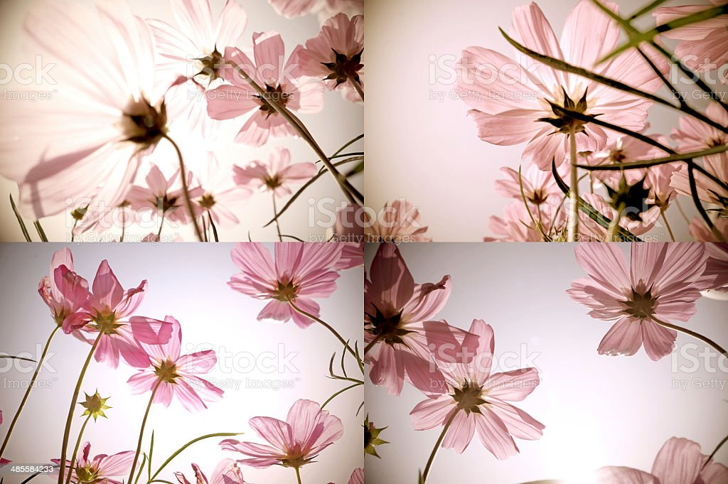 Vintage collage of Cosmos flowers. Art floral background. Retro style. stock photo