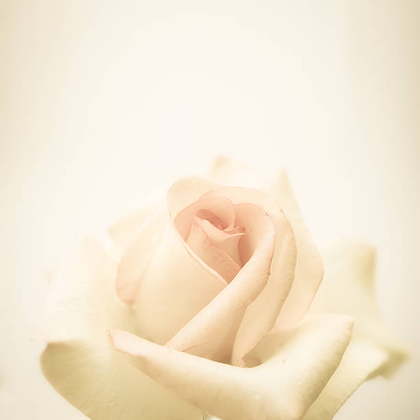 vintage color rose in soft and blur style – Foto