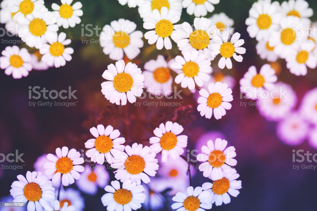 vintage colorful photo of beautiful chamomiles on dark natural background. Outdoor autumn photo with unusual colors royalty-free stock photo