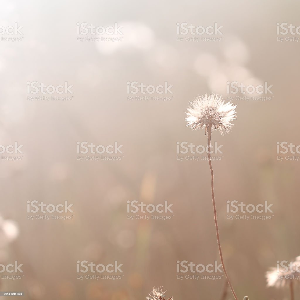 vintage field dandelion flower. Nature outdoor autumn photo royalty-free stock photo