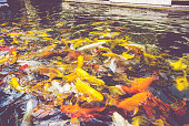 vintage filter : Crowd of Koi fish in pond,colorful natural background,Koi is symbolize good luck and fortune