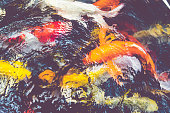 Vintage filter : Koi fish in pond,colorful natural background,Faded color.