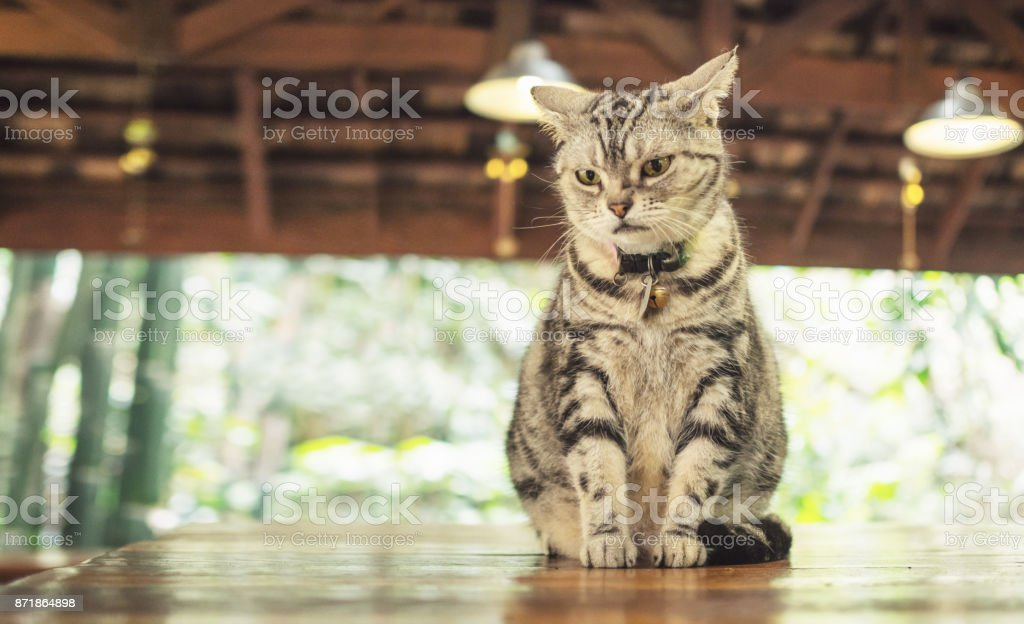 Vintage filter on American short hair cat sitting on table stock photo