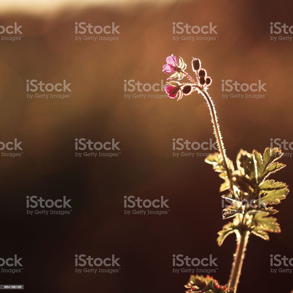 Vintage flower clover on the background of sunrise. Nature outdoor autumn photo royalty-free stock photo