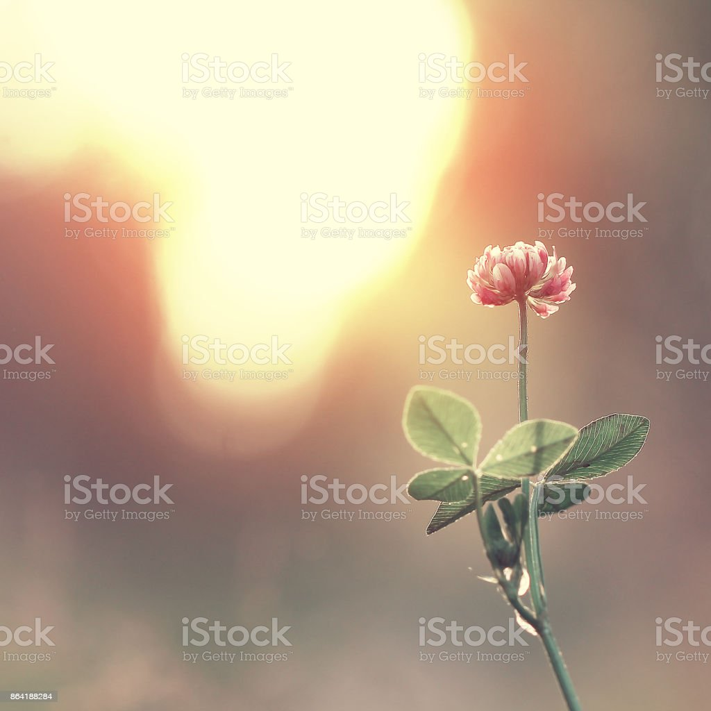 Vintage flower clover on the background of sunrise royalty-free stock photo