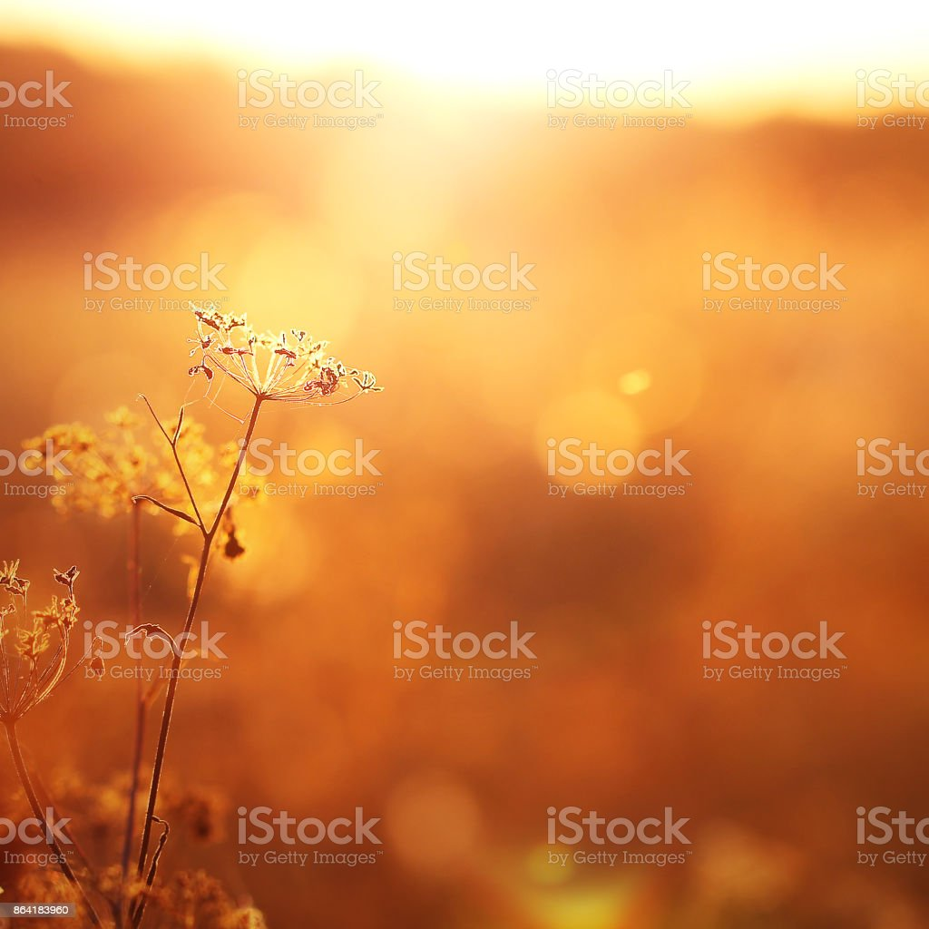 vintage grass plant on summer morning sunrise royalty-free stock photo