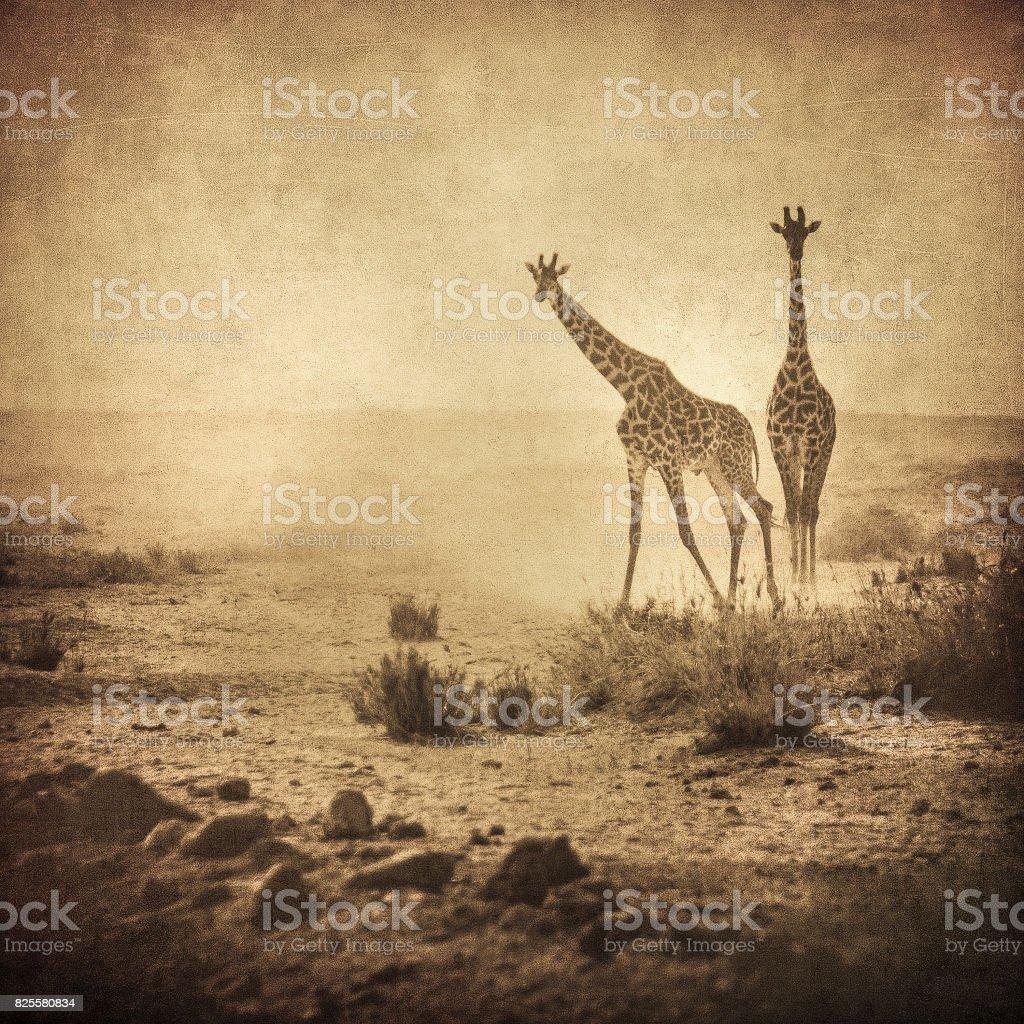 vintage image of giraffes in amboseli national park, kenya stock photo