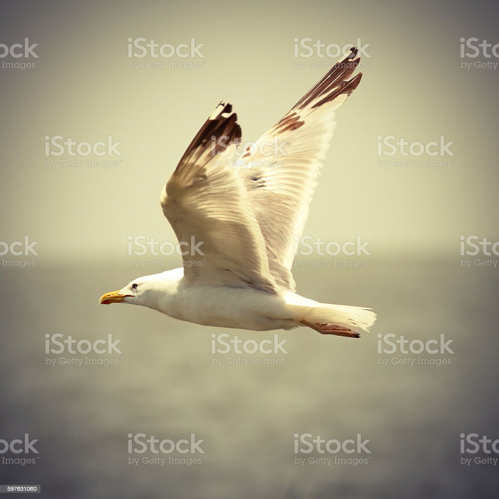 vintage image of seagull in flight stock photo