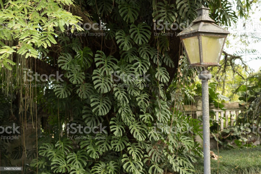 Vintage light pole with beautiful windowleaf  / Swiss cheese plant (Monstera deliciosa ) on background