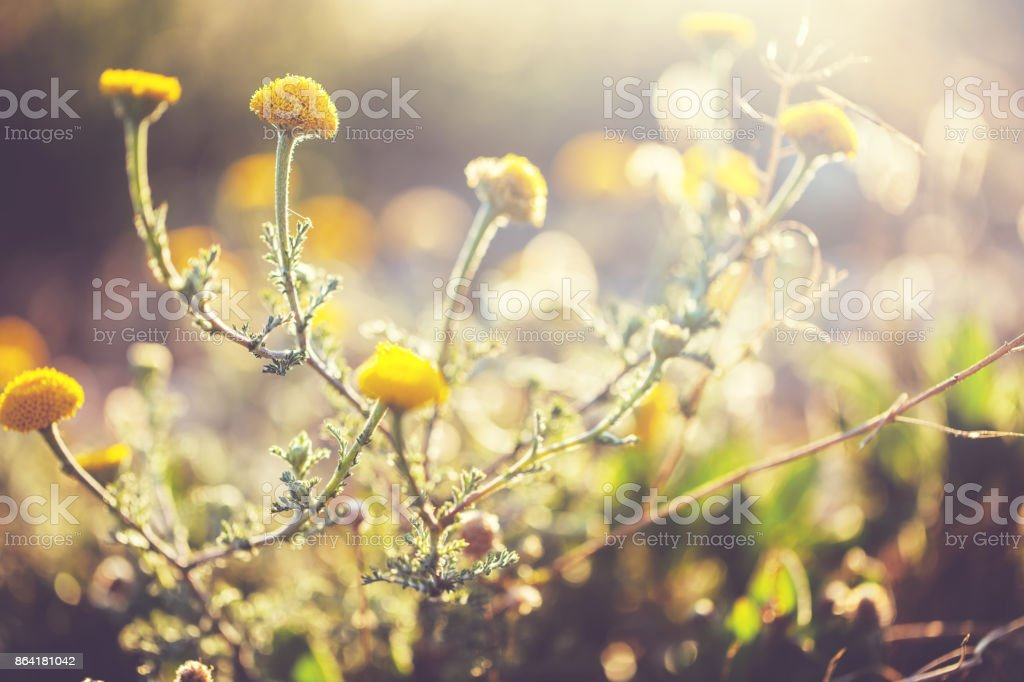 vintage meadow flowers in field royalty-free stock photo