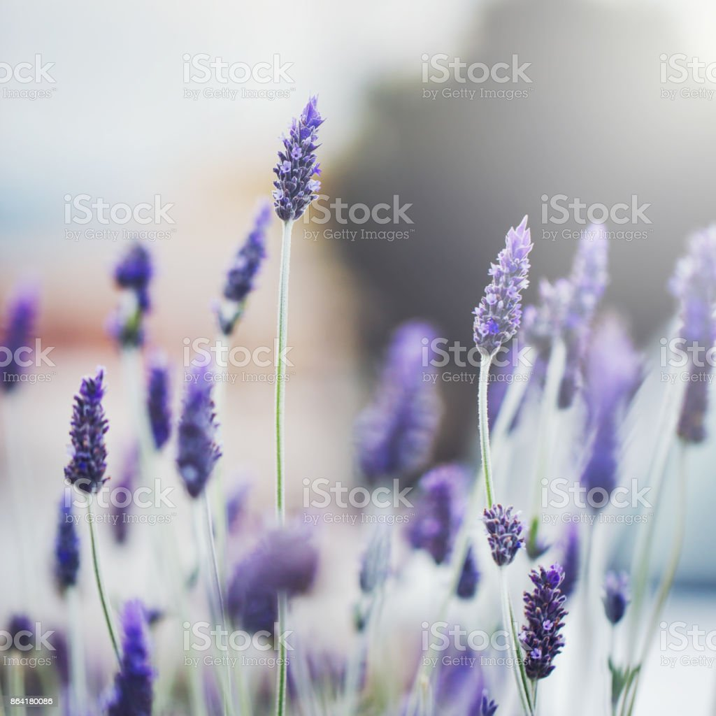 vintage nature macro closeup beautiful lilac yellow flowers on natural background royalty-free stock photo