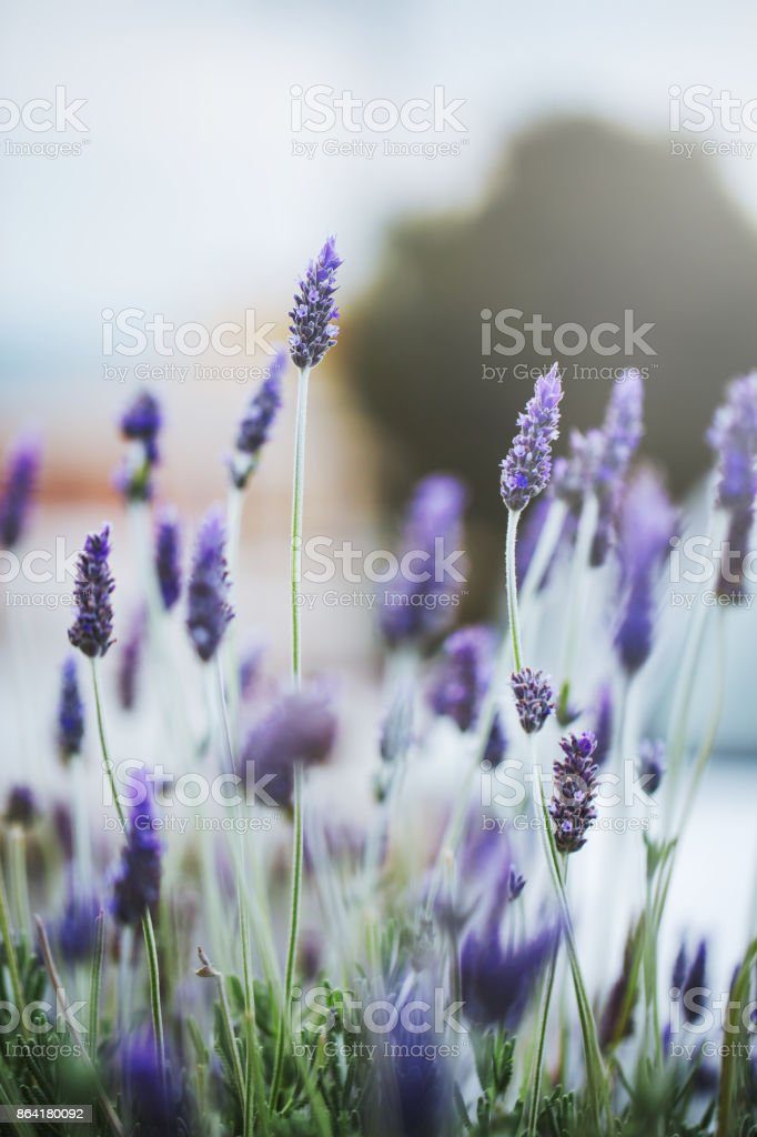 vintage nature macro closeup beautiful pink lilac flowers. Outdoor background royalty-free stock photo