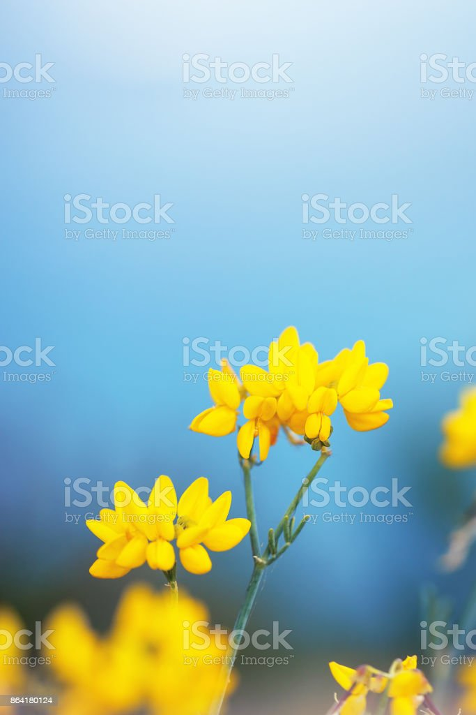 vintage nature macro closeup beautiful yellow flowers on blue background royalty-free stock photo