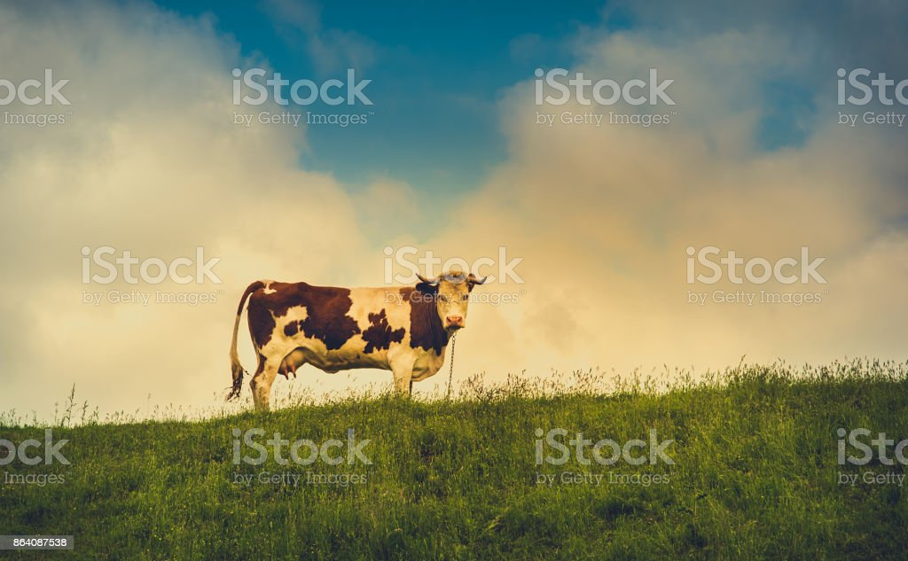 Vintage photo of a cow royalty-free stock photo