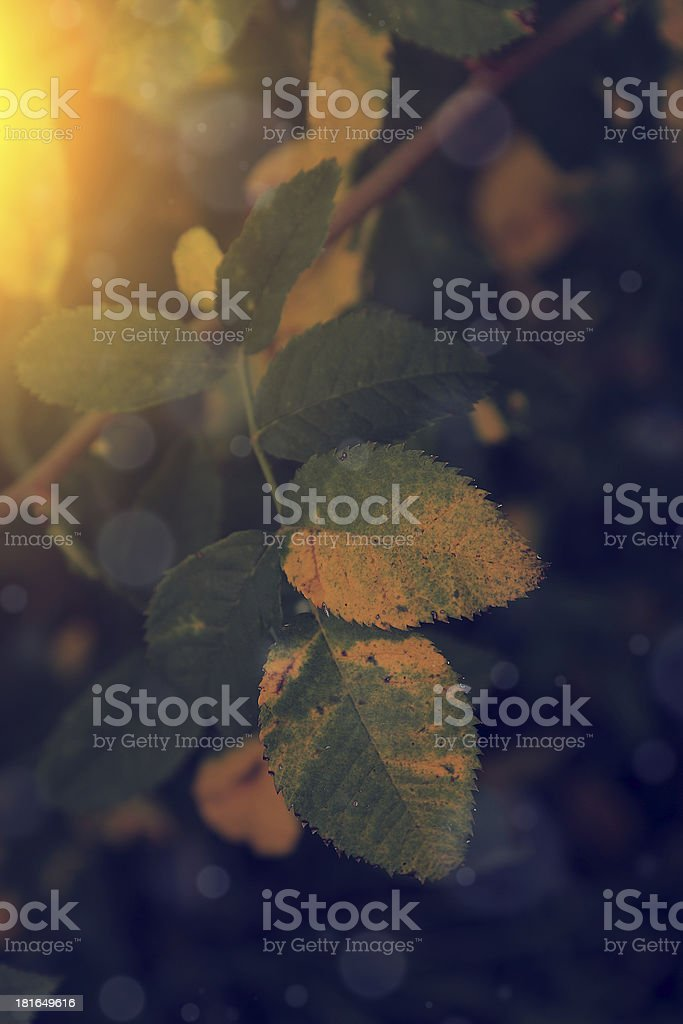 Vintage photo of autumn leaves in sunset royalty-free stock photo