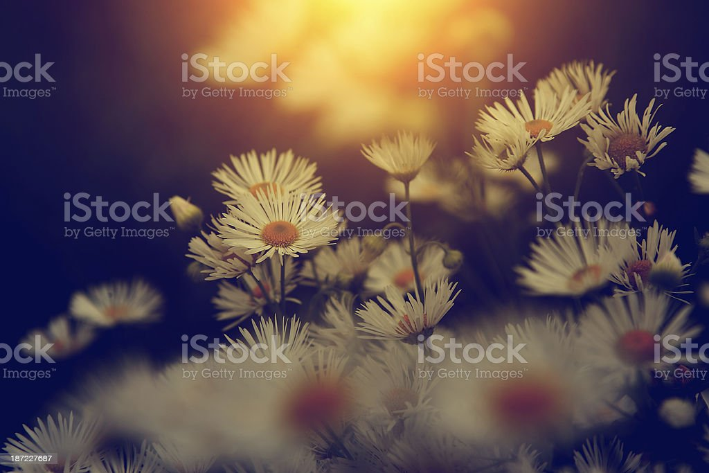 Vintage photo of beautiful wild flower in sunset royalty-free stock photo