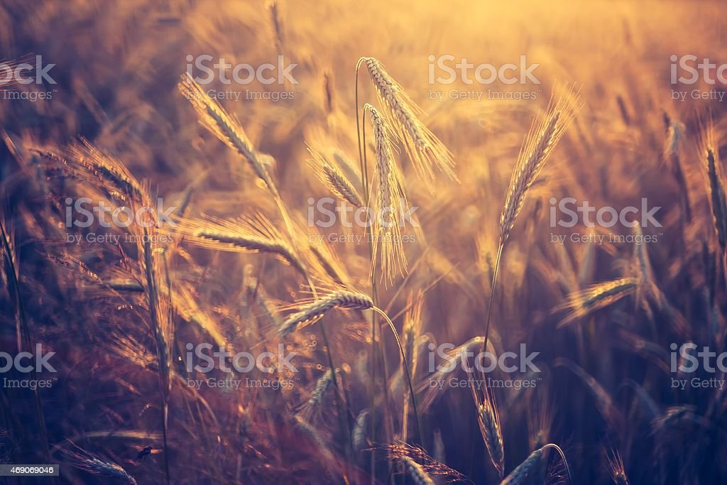 Vintage photo of cereal field stock photo