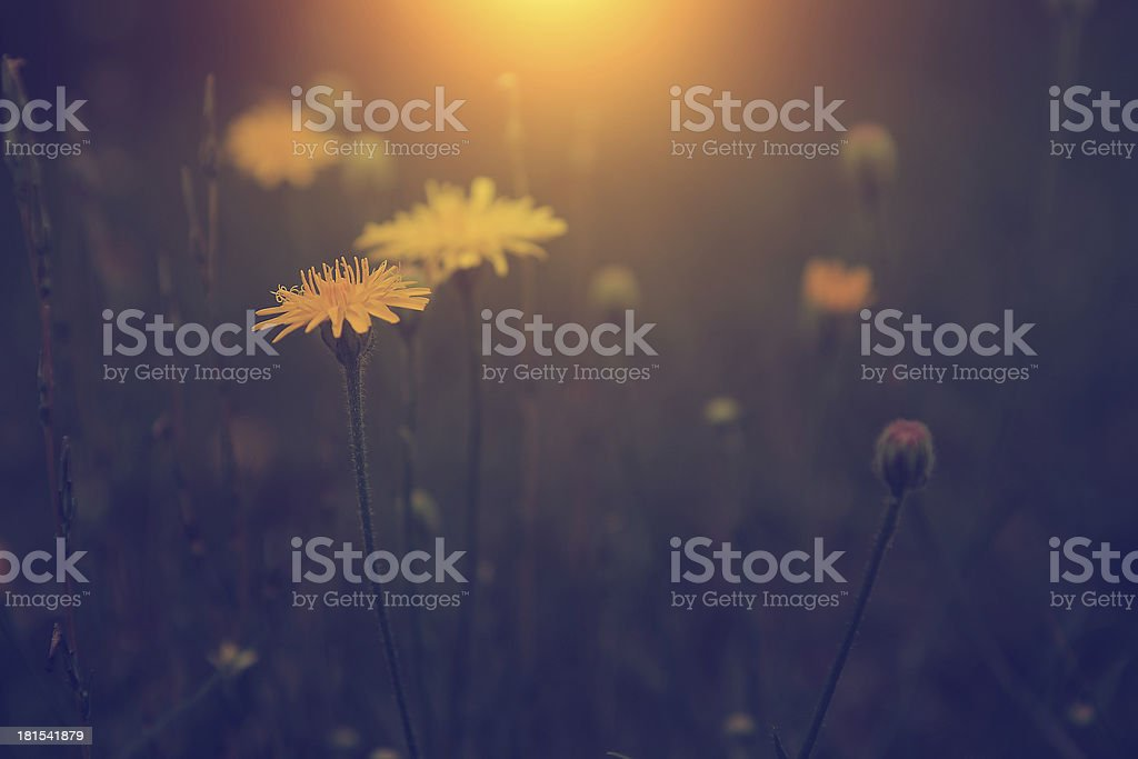 Vintage photo of dandelion in sunset royalty-free stock photo