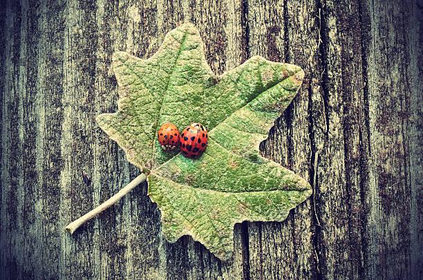 Vintage foto de ladybugs on green leaf - foto de stock