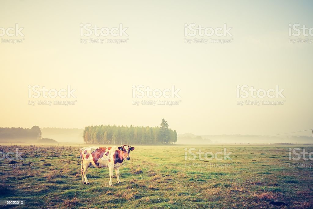 Vintage photo of landscape with cows on pasture stock photo