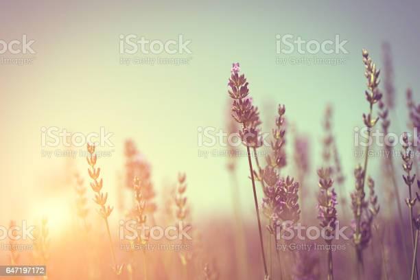 Vintage photo of lavender field picture id647197172?b=1&k=6&m=647197172&s=612x612&h=nvyzdvvqll18fckp7domcjpxowwrbaa8hgw ldepe0w=