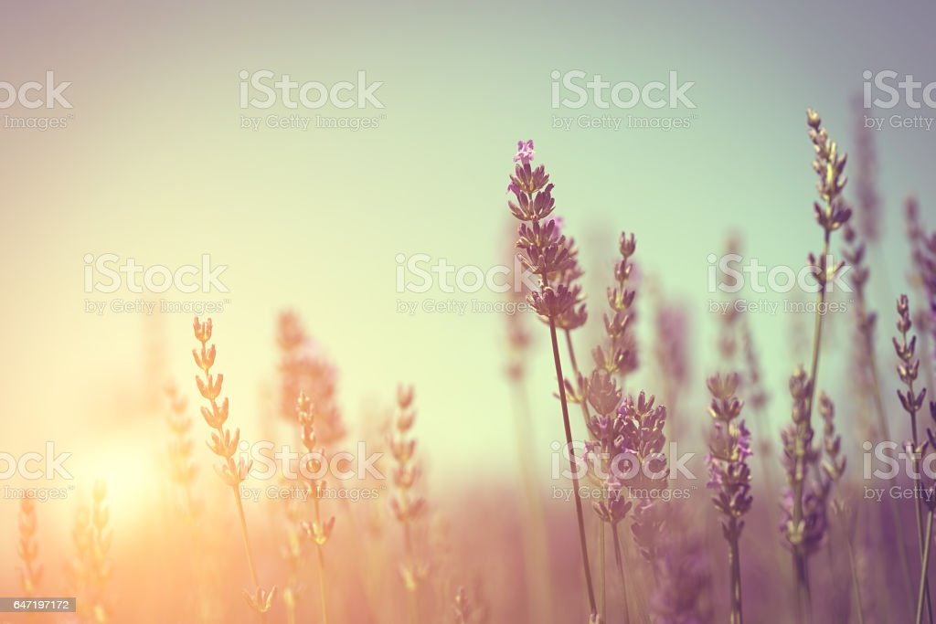 Vintage photo of lavender field stock photo